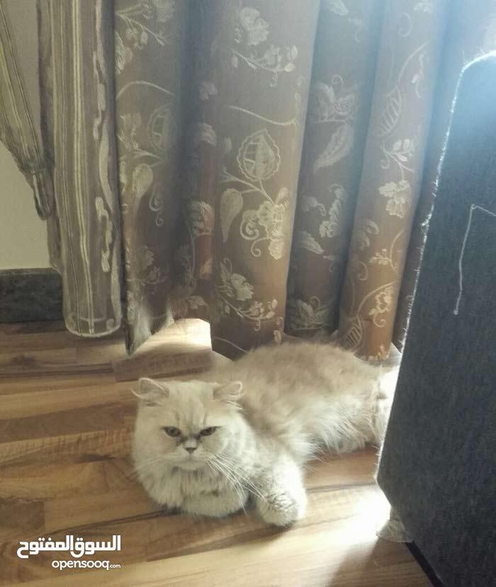 قطوة شيرازية حامل للبيع