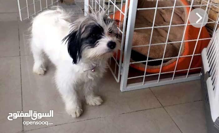 كلب للبيع فرنسي تيرا