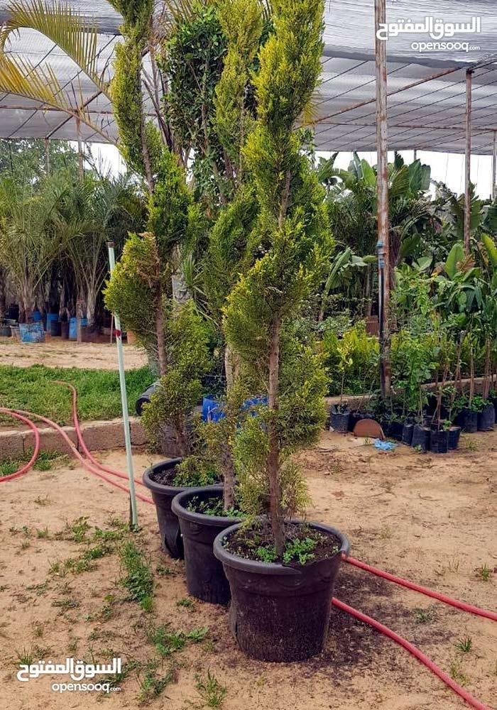 مشتل وادي الربيع لبيع مسطحات الخظراء وتوريد الأشجار المثمرة والزينه