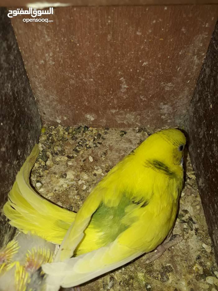 عصافير