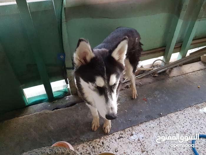 كلب هاسكي عمره 7 اشهر