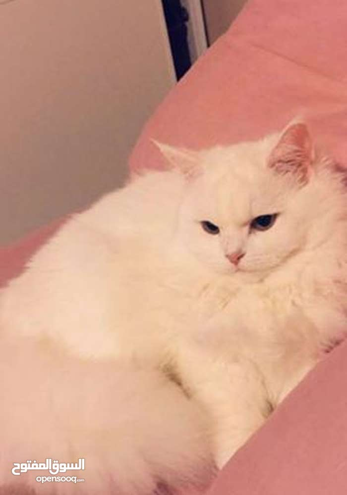 e022120b7 قطة شيرازي بيضاء للبيع جدة - (101615932) | السوق المفتوح