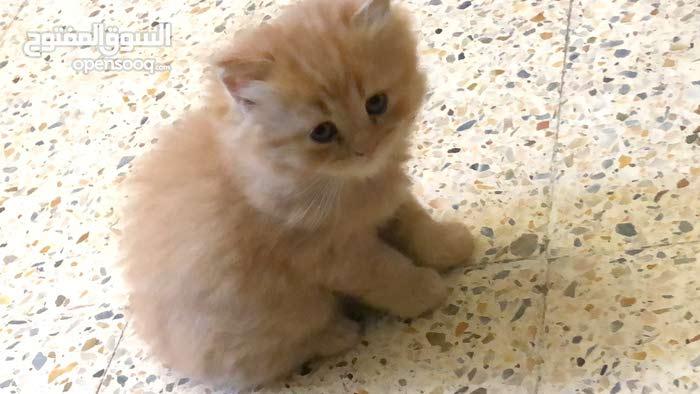 قطط شيرازي شهرين واسبوع