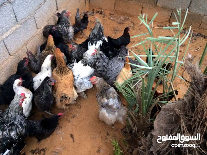 دجاج ابوهم للبيع