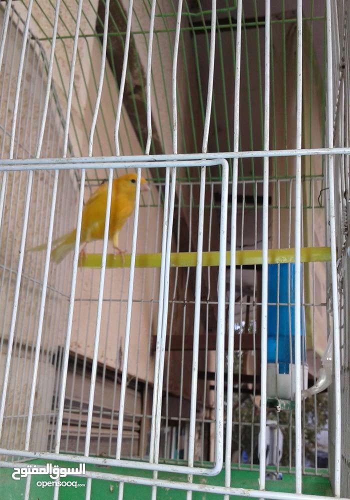 طير كنار بغرد للبيع