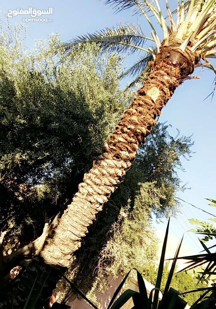 شجرة نخيل