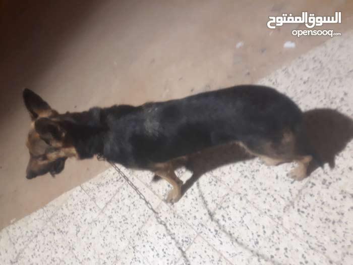 كلبه كستم المانيه عمىها 6شهرر.  ملاحظه منردش علي التعليقات