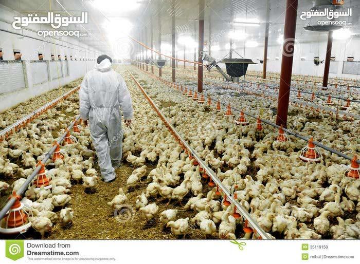 طبيب بيطري سوداني تخصص انتاج حيواني (دواجن) يبحث عن عمل(Sudanese veterinarian (Poultry