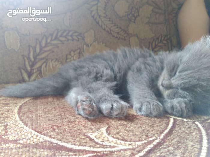 قطط سكوتش وشانشيلا