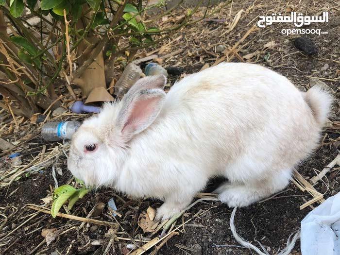 انثى ارنب هولندي