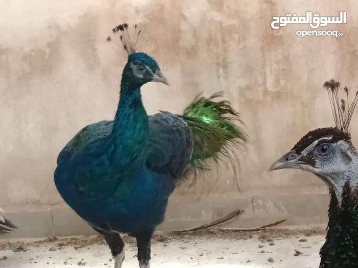 طاووس شغال كافه الالوان للبيع بسعر مغري