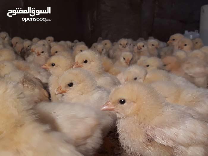 رخيص كلش افراخ دجاج معمل البيض البياض العمر 8 ايام ملقحات وكاملات من كلشي