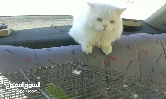 قط شيرازي بسعر مغري لعدم الفراغ