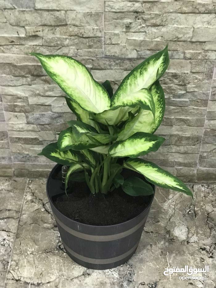 Natural and Artificial Plants for sale available in Muscat