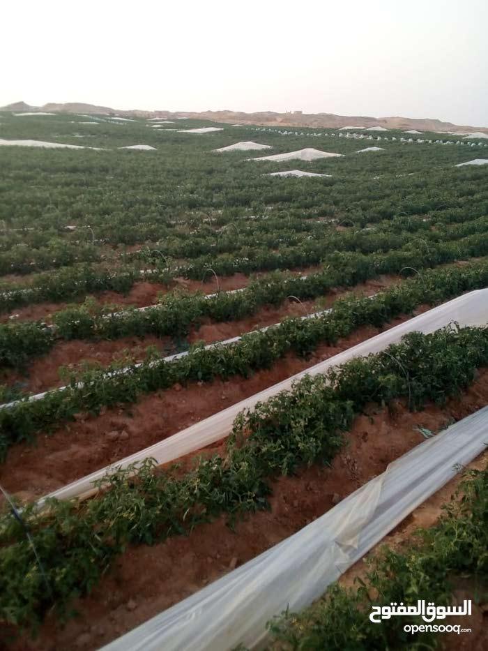 شركه الامل لبيع اراضي مزروعه بالفعل طماطم وخيار