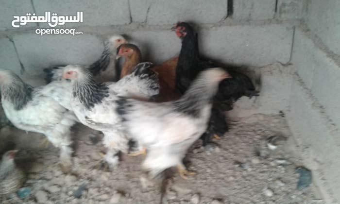 عندي دجاج للبيع البرهامه دكتور لايت سعر الوحده 100  ودجاجتين ودينك إسباني علمن