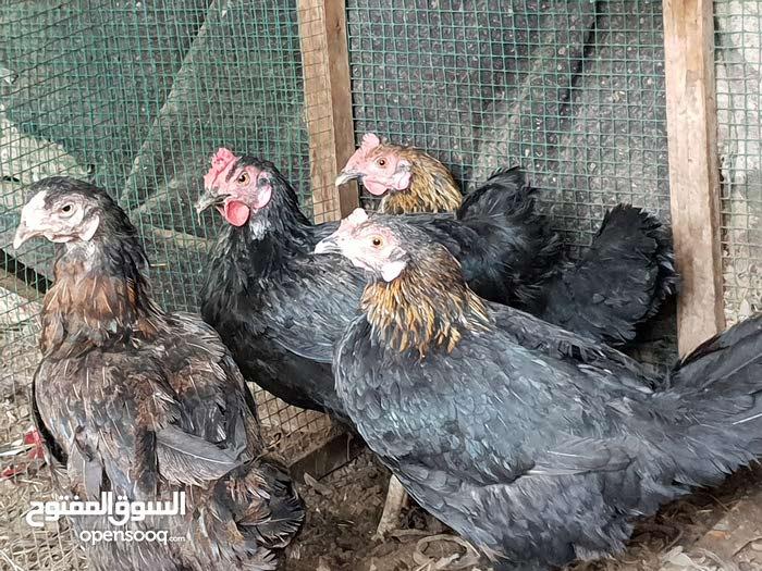 دجاج عرب اصلي