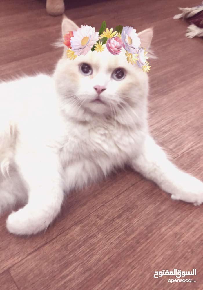 قط هيمالايا-ذكر