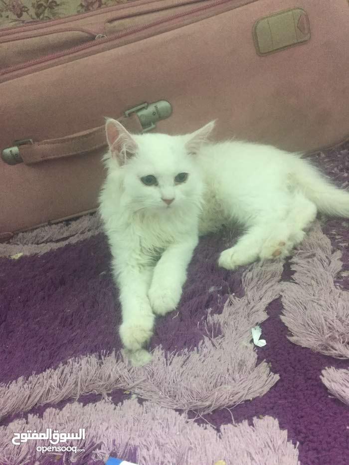 قطه بيضاء.  عمر شهرين  للبيع