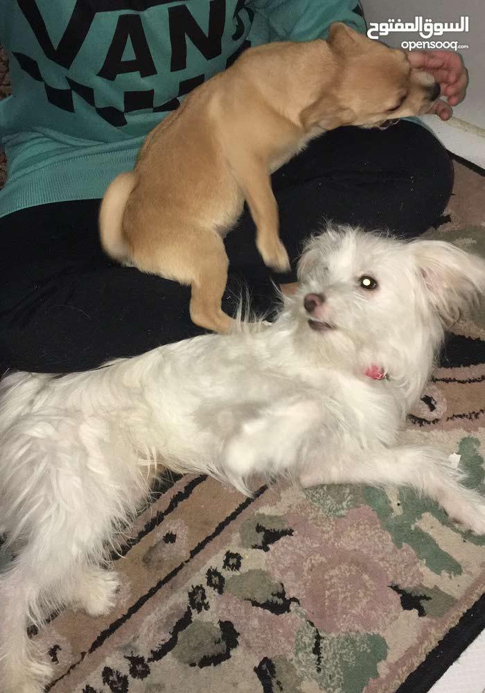 كلب جريفون وكلبه شيواوا