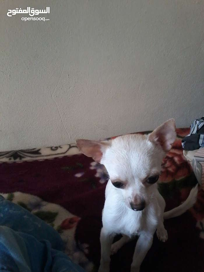 chiwawa dog smol dog 400 call new