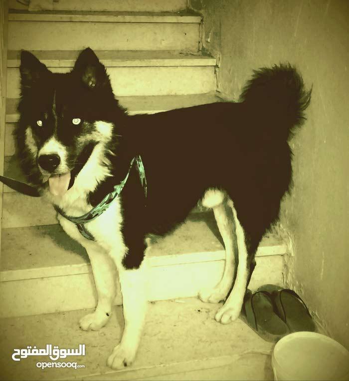كلب هاسكي عمرو 6 شهور