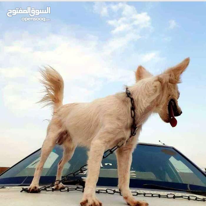 كلب لولي فوكس ذكر عمره 5 شهور بكل ملحقاته صدريه مشط قفص