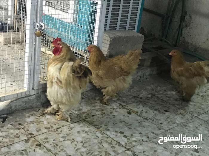 سيت دجاج برهما ذهبي للبيع