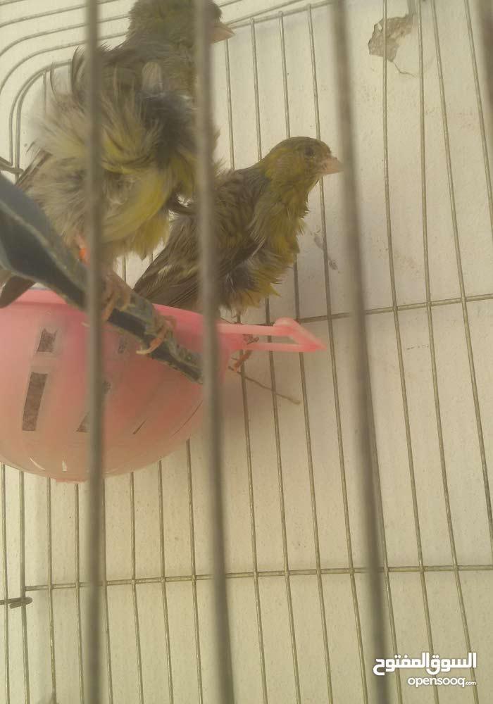 عصافير كنار للبيع أشي نظيف