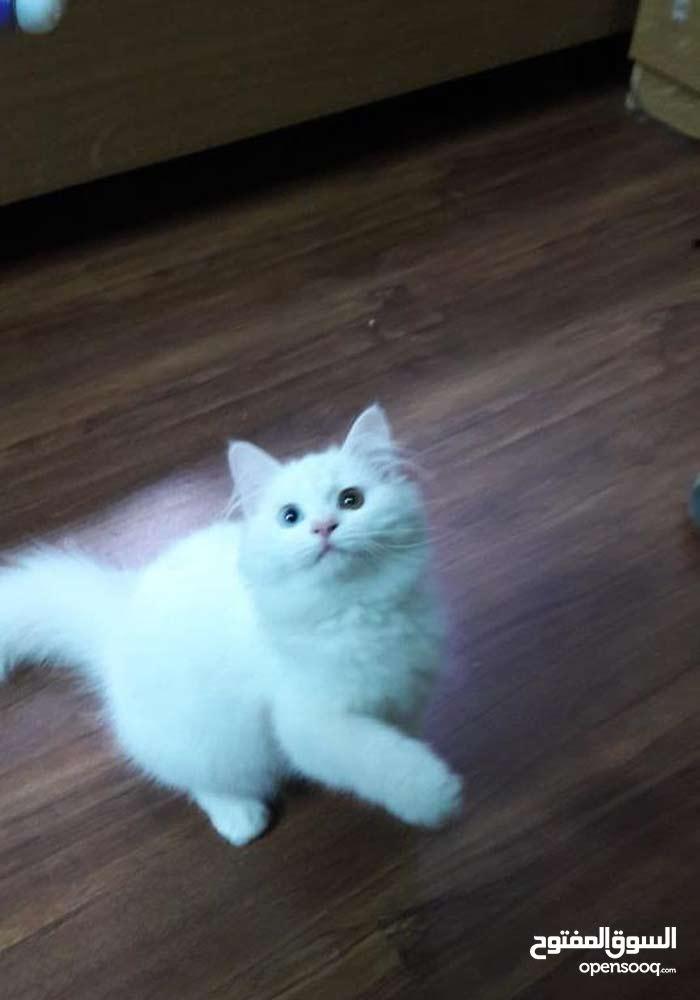 قطه انثى للبيع عمر اربع شهور ونص