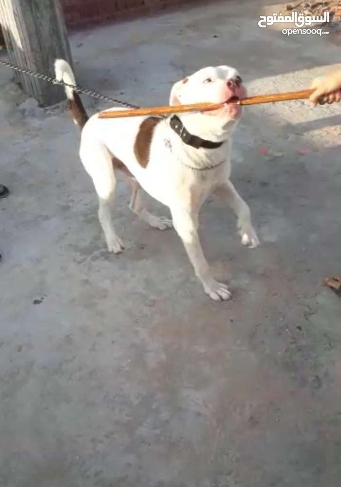 كلب بيتبول ذكر  للبيع