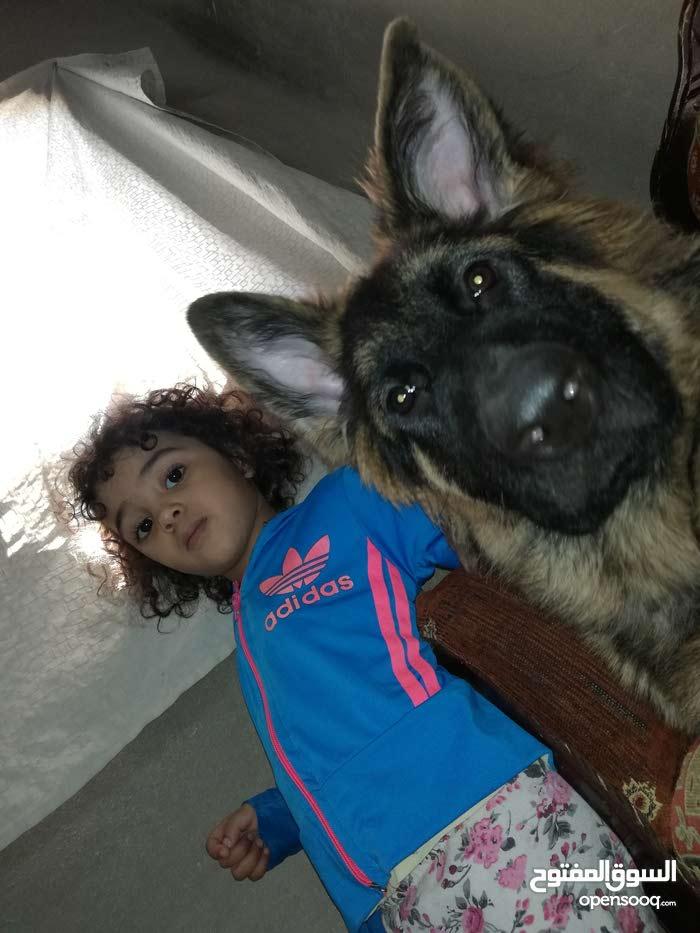 كلب جيرمان شيبرلونج هير تضم عريض كسحه ابن ڤوكس بطل المملكة بلشراسه
