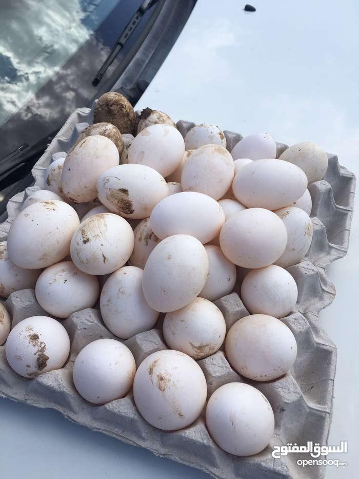 دجاج بياض لإنتاج بيض