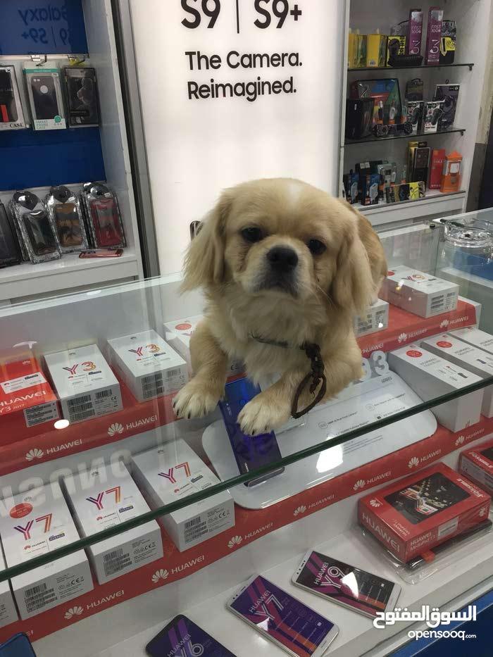 كلاب بيكنيز للبيع في اسعار مغريه