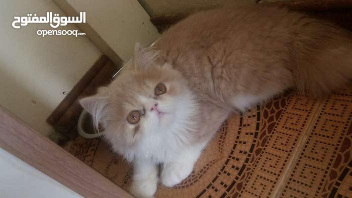 مطلوب قطه انتى صغيره شيرازي فيس لتبني نفس الصوره