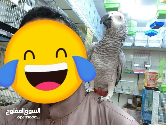 Nigerian Parrot- Speak & obident