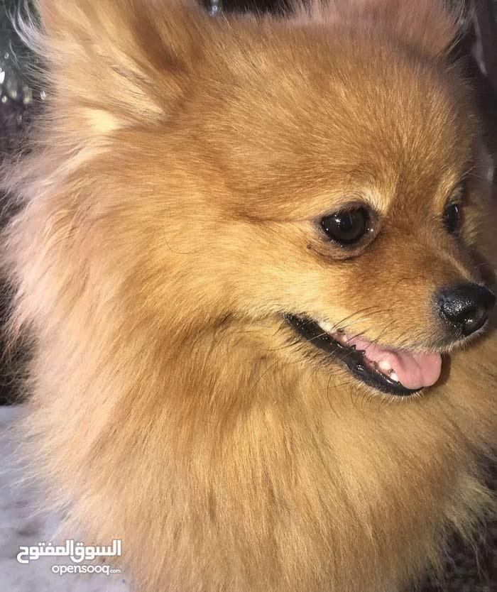pomaranian beage ~caramel dog