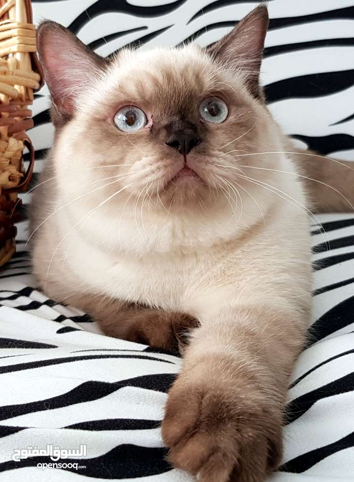 Stunning show grade btitish kitten