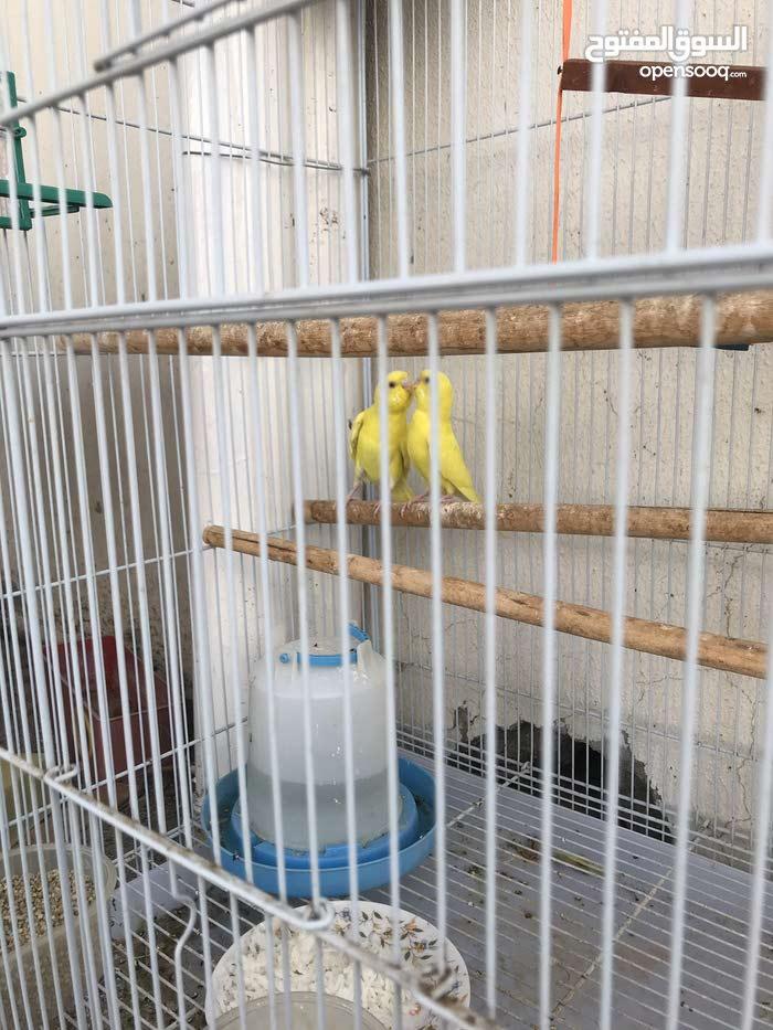 زوج طيور الحب (البادجي)