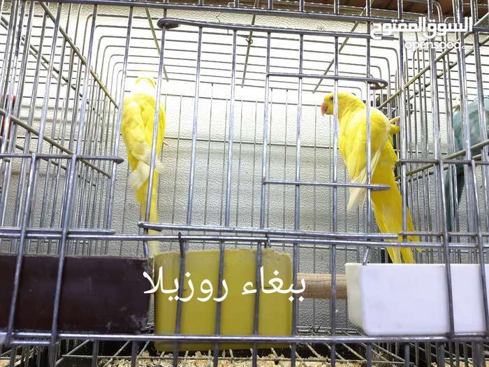 يوجد عصافير قرديل كناري بجميع انواعه ويوجد ياسمينة وباباعاء