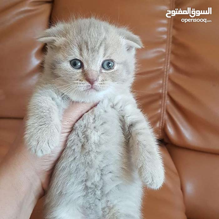 british  and scottish fold kittens for sale