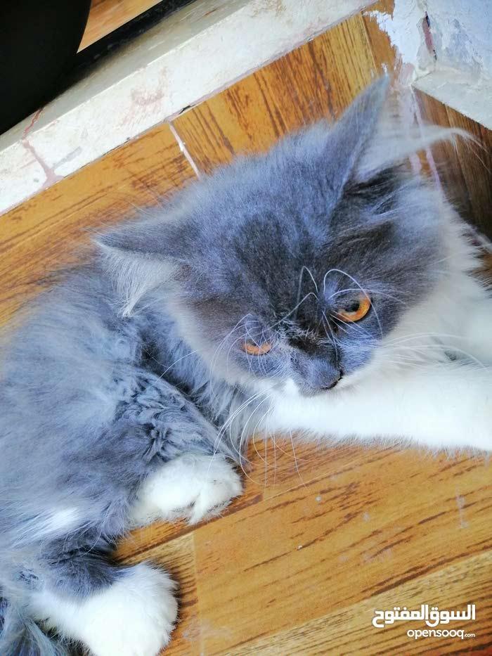 قطه شيرازي مكس نيجيري للبيع