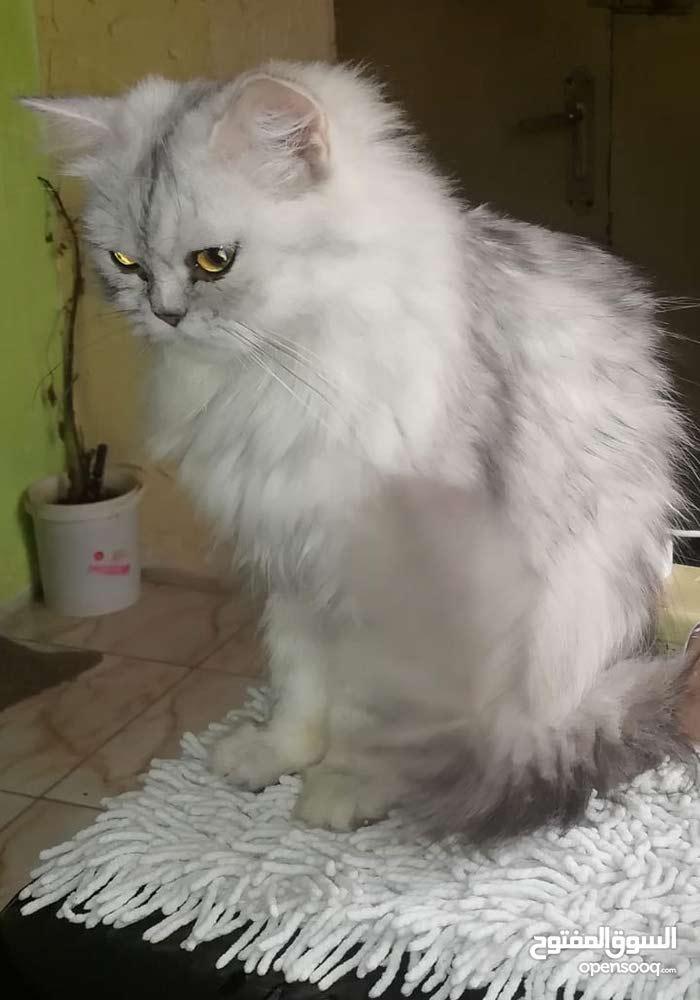 قطه شانشيلا معها بنتها للبيع بسعر مغري