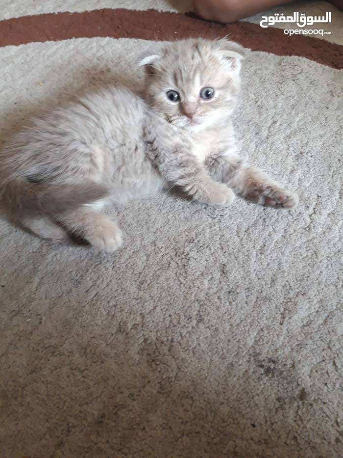 scottish fold lilec colour kittens for sale