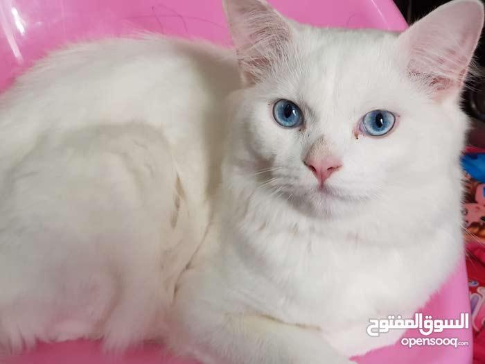 للبيع قط شيرازي تركش انجورا لون ابيض ثلجي بعيون زرقاء