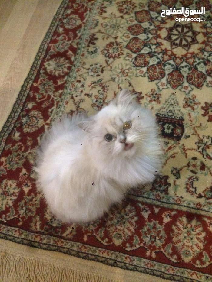 قطه همالاي