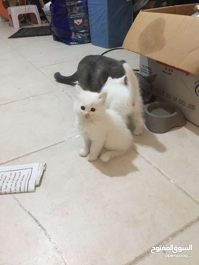 قطط عمر شهرين تقريبا