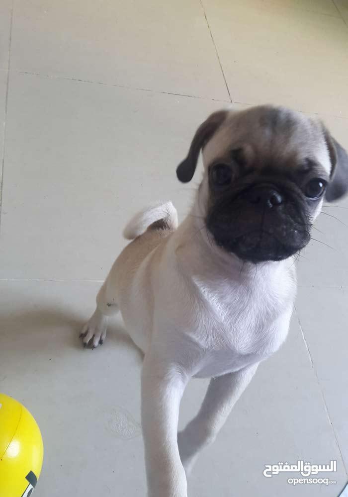 pug male puppy