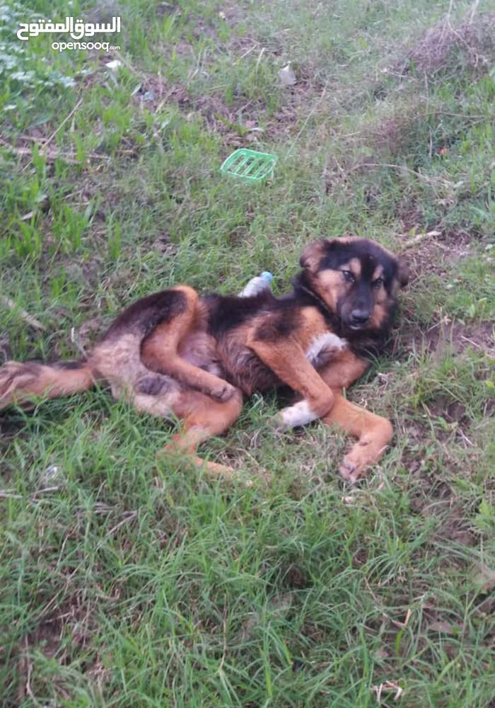 كلب جيرمن شيبرد للبيع للمراوس