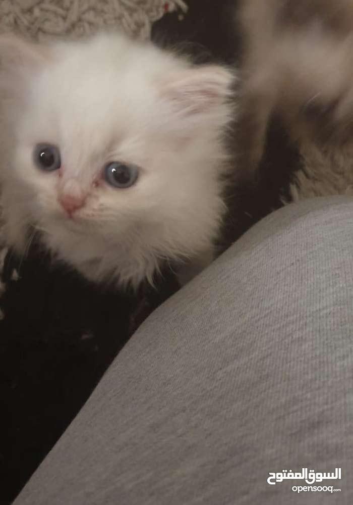 للبيع قطط شيرازي وقطط هيملايا